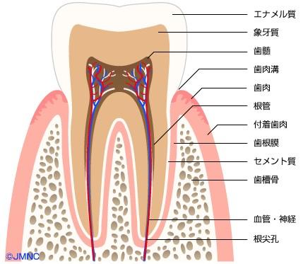 三好歯科 自由が丘 歯の内部の構造の模式図