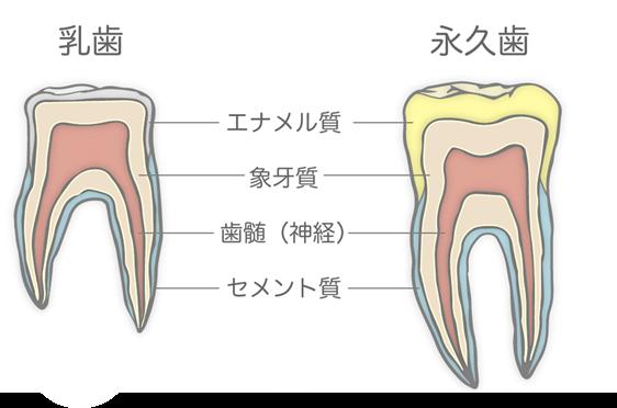乳歯と永久歯の構造のちがいの模式図