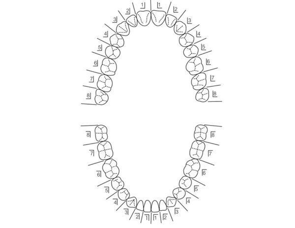 三好歯科 自由が丘の歯列の番号と図解